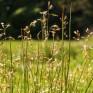 Holy-grass, (Hierochloe odorata). © George Logan